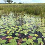Addressing sub-Saharan Africa's inadequate sanitation - Lilies in the Okavango basin